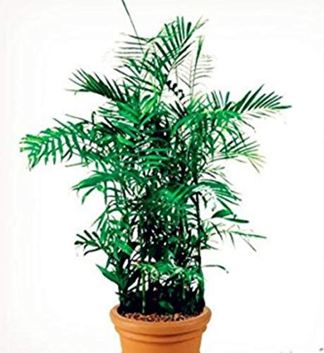 bambusa multiplex Seeds 50 Seeds Bonsai tree Seeds Beautifying Plant #32709853784ST