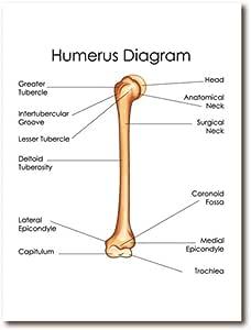 Diagrama de húmero de anatomía humana imprime Doctor