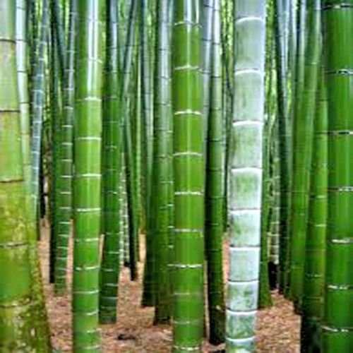 25 Seeds of Tortoise Shell Bamboo ( Ebible Bamboo ) Palm Seeds - Phyllostachys Edulis Bamboo Palm Seeds