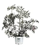3 Gal. Black Lace Elderberry (Sambucus) Live Shrub, Pink Flowers