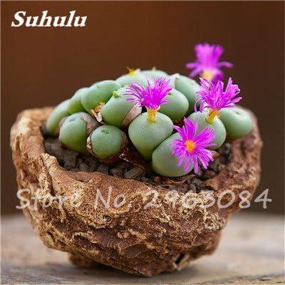 Gran venta! 50 PC semillas de cactus raras plantas suculentas mini jardín Plantar, comestibles Semillas belleza de la fruta de la planta vegeable hierbas 9: Amazon.es: Jardín