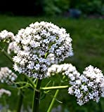 "Valerian Plant - Garden Heliotrope - Valeriana officinalis - Live Plant -3"" Pot"