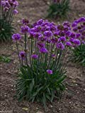 25 Armeria pseudarmeria (Ballerina Lilac Seeds) False Sea Thrift,Perennial