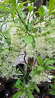 (3 gallon)White Fringe Tree, gorgeous, drooping clusters of fringe-like, fragrant creamy white blooms, NATIVE PLANT(Hydrangeas Shrub, Evergreens, Gardenia