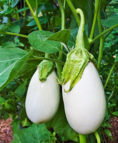 David's Garden Seeds Eggplant Clara SV2615 (White) 50 Non-GMO, Hybrid Seeds