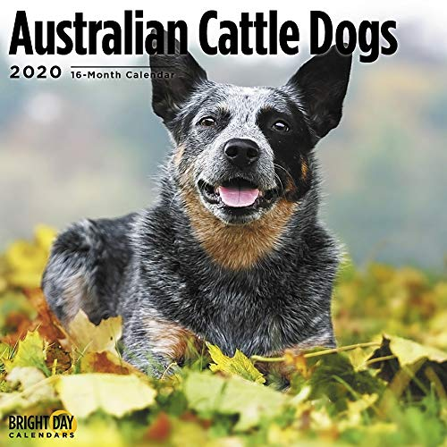 2020 Australian Cattle Dogs Wall Calendar by Bright Day, 16 Month 12 x 12 Inch, Cute Puppy Animals Queensland Heeler Canine