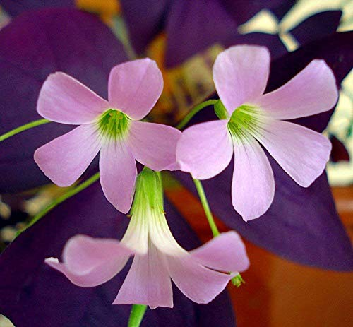 Purple Rain Shamrock – The Love Plant – Edible – Oxalis triangularis 5 Bulbs
