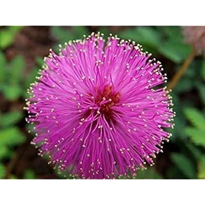GL Seeds Mimosa Shy Beauty Organic : Garden & Outdoor