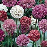 Outsidepride Armeria Joystick Mix Ground Cover Seed - 400 Seeds