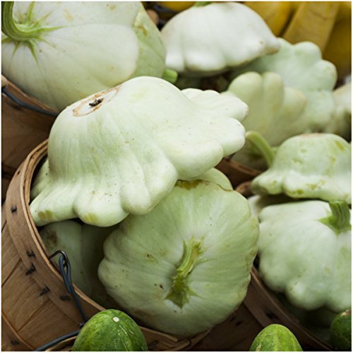 Package of 45 Seeds, Early White Scallop Summer Squash (Cucurbita pepo) Non-GMO Seeds by Seed Needs