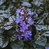 "Black Scallop Bugleweed - Ajuga - NEW! - Darkest Form - 4 Plants - 1 3/4"" Pots"