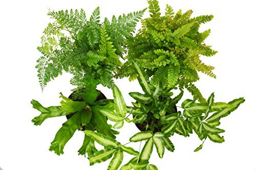 4 Fern Variety Pack - Live Plants - FREE Care Guide - 4