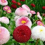 English Daisy Flower Seeds Mix Marguerite Chrysanthemum Around 200 Seeds