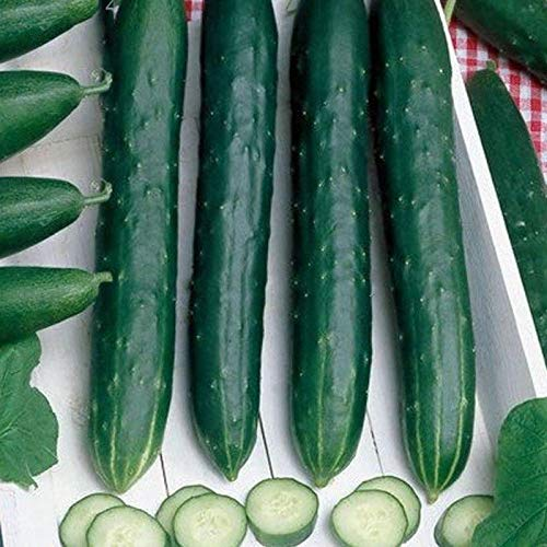 Early Spring Burpless Hybrid Cucumber Seeds (25 Seeds) (Stakes Curly Tomato)