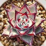 Echeveria Agavoides 'Ebony' 4cm - Succulent Live Plants - Home Garden Rare Plant