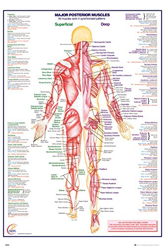 Amazon.de: Educational - HThe Human Body Posterior Muscle Muskeln ...