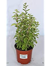 Mejorana (Maceta 10,5 cm Ø) - Planta viva - Planta aromatica