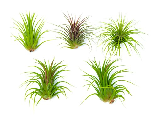 5 Giant Ionantha Tillandsia Air Plant Pack - Each 3 to 4 Inches Long - Live Tropical House Plants for Home Decor - Indoor Terrarium Air Plants