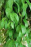 Flowering Lipstick Plant 'Black Pagoda' Basket Vine - Aeschynanthus Marmoratus