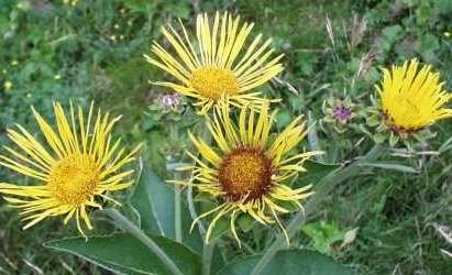 Elecampane Root Powder - Elecampane Root, Powder - Wildcrafted - Inula helenium (454g = One Pound) Brand: Herbies Herbs