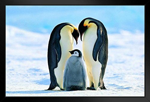 (Emperor Penguin and His Family Photo Art Print Framed Poster 20x14 inch)