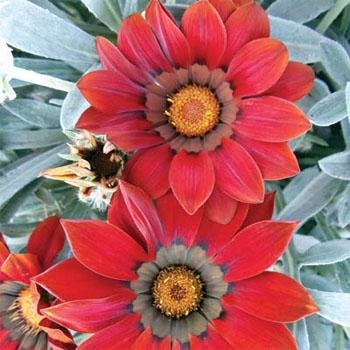 - Outsidepride Gazania Kiss Frosty Red - 100 Seeds