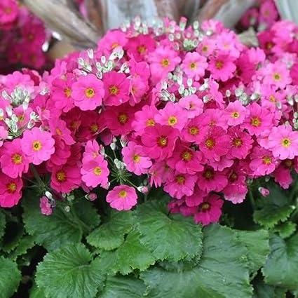 Amazon fairy primrose pink flower seeds primula malacoides fairy primrose pink flower seeds primula malacoides 50seeds mightylinksfo