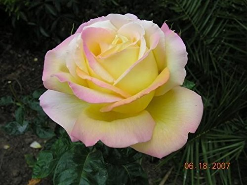 Peace Rose Bush Hybrid Tea Rose (1 Plant) Border,Cut Flowers,Ornamental, Outdoor