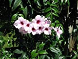 BOWER OF BEAUTY VINE (Pandorea jasminoides) 50 seeds