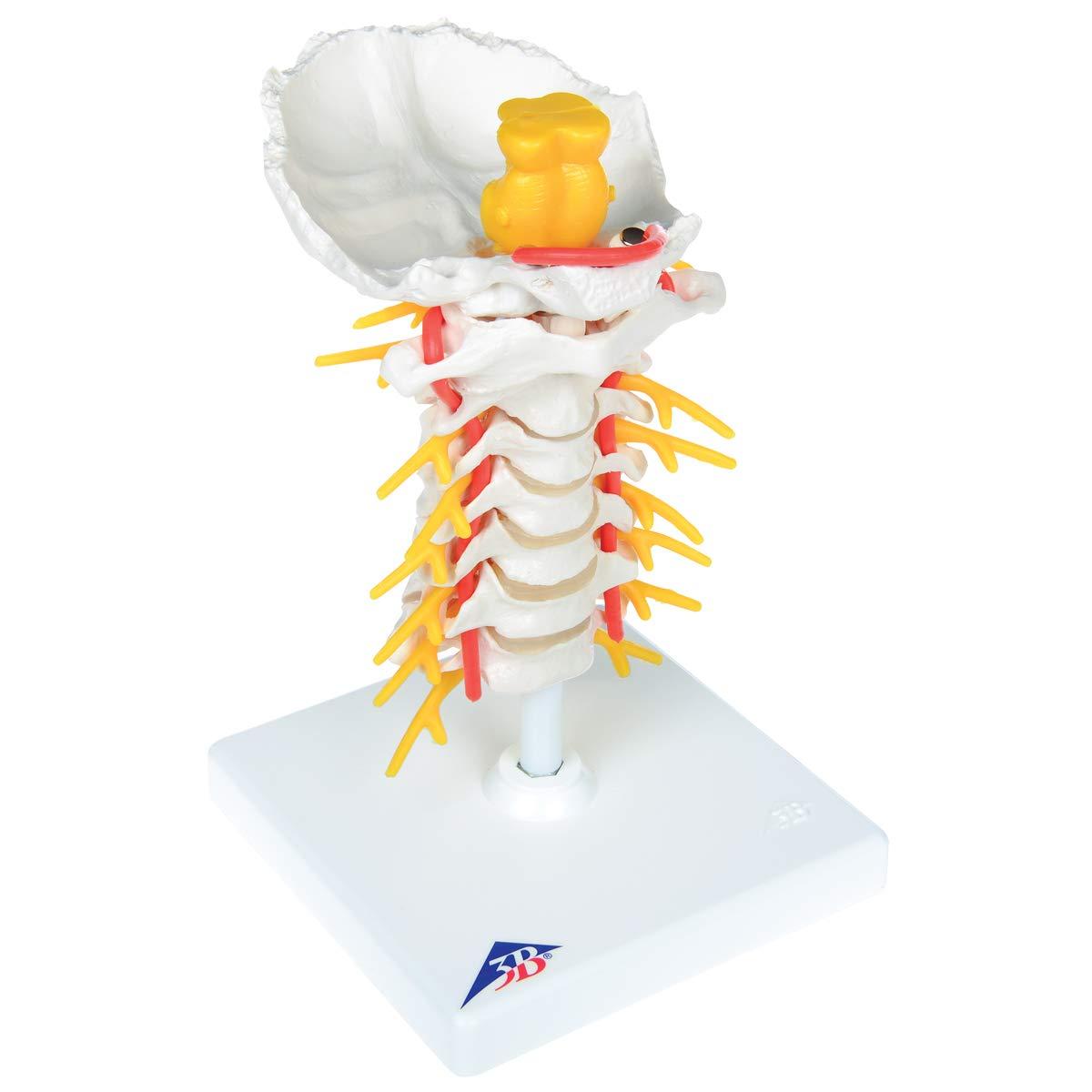新品入荷 頚椎モデル B007NCUCNI, こわけや:4aaf73fc --- a0267596.xsph.ru