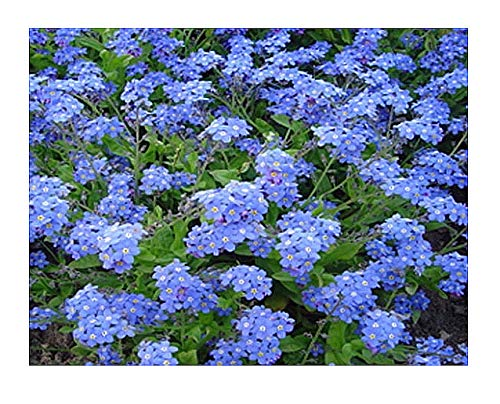 Not Me Packets Seed Forget (Forget Me Not Seeds - Approximately 5,000 Seeds)