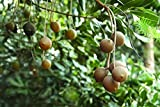 7 seeds Macadamia Nut Tree Seeds For Planting