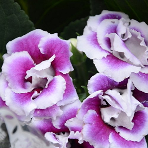 - Potato001 100Pcs Saintpaulia Ionantha African Violet Seeds Beautiful Flower Garden Plant (Purple)