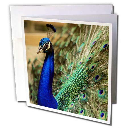 3dRose Stamp City - Birds - Photo of a Peacock displaying his Tail Feathers to Attract The Ladies. - 12 Greeting Cards with envelopes (gc_292990_2) (Displaying Feathers Peacock)