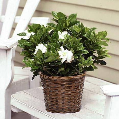 Amazon.com : Large Fragrant Gardenia In Woven Basket : Grocery U0026 Gourmet  Food