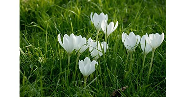 Amazon 20 white beautiful crocus saffron bulbshappy joy amazon 20 white beautiful crocus saffron bulbshappy joy flowersbonsai pot plant for home gardeneasy to plant garden outdoor mightylinksfo