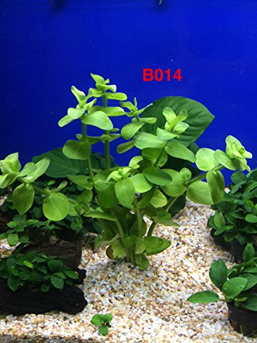 Exotic Live Aquatic Plant for Fresh Water Bacopa lanigera Bundle B014 By Jayco **Buy 2 Get 1 FREE