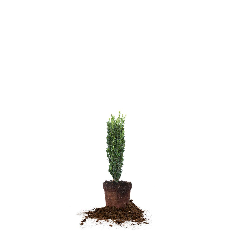 Perfect Plants Sky Pencil Holly Live Plant, 1-2ft, Includes Care Guide