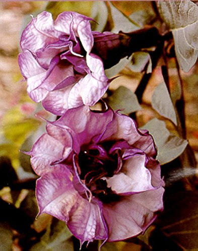 What is a Datura angel trumpet plant?