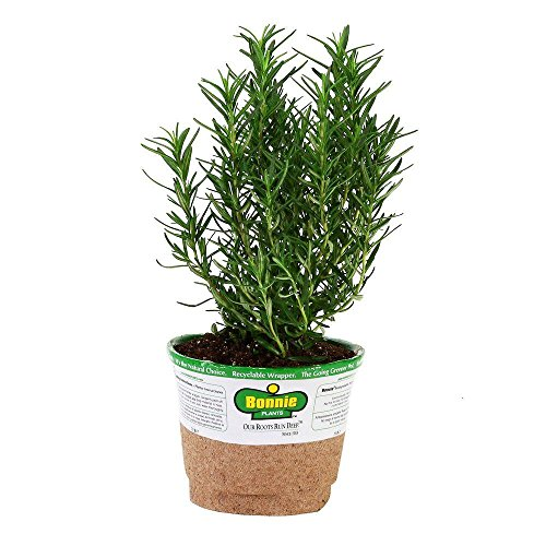 Bonnie Plants 5090 Rosemary Herb Plant