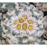 Exotic Plants Lophophora koehresii - Peyote - San Pedro Cactus - 10 seeds