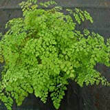 "Fragrant Maidenhair Fern - Adiantum raddianum 'Fragrantissima' - 4"" Pot"