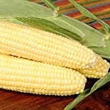 Bodacious R/M Hybrid Corn Garden Seeds - 5 Lb - Non-GMO, SE (Sugary Enhanced) Vegetable Gardening Seeds