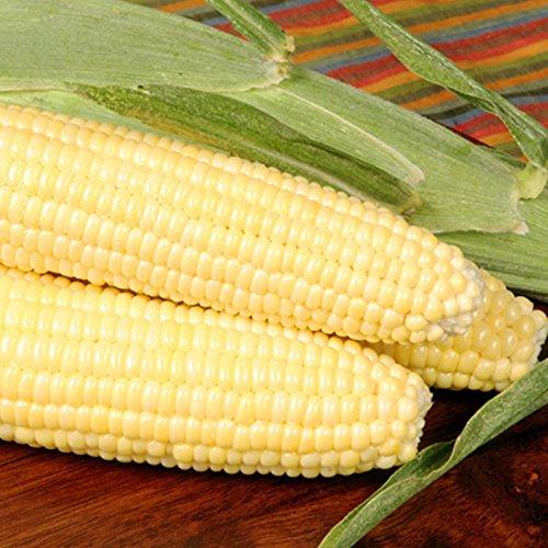 Hybrid Corn - Bodacious R/M Hybrid Corn Garden Seeds - 5 Lb - Non-GMO, SE (Sugary Enhanced) Vegetable Gardening Seeds