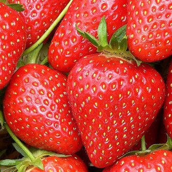 Swanley Village Nursery 20 X Strawberry Plants Bare Rooted Malling Opel
