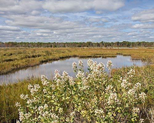 Photograph of a Coastal Salt Marsh with White Flowers -