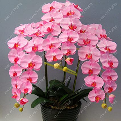 Amazon.com : 50 pcs/bag bonsai flower orchid seeds ... on grape plant name, pink hydrangea plant name, christmas red plant name, heroin plant name,