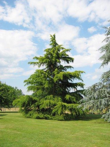 10-graines-cedre-de-lhimalaya-cedrus-deodara-tree-seeds