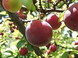 CALIFORNIA PLUM TREE 18-24 INCH FLOWERING FRUIT TREE LIVE PLANTS SEEDLINGS