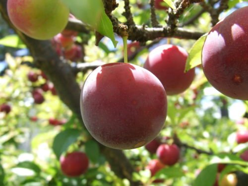 CALIFORNIA PLUM 2-3 FT FLOWERING FRUIT TREE NOW SHIPPING